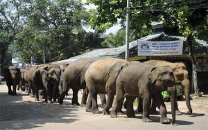 Sri-Lanka-Centraal-Pinnawela-Olifantenweeshuis-rivier-optocht-olifanten